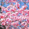 夢占い「梅の夢」の意味とは